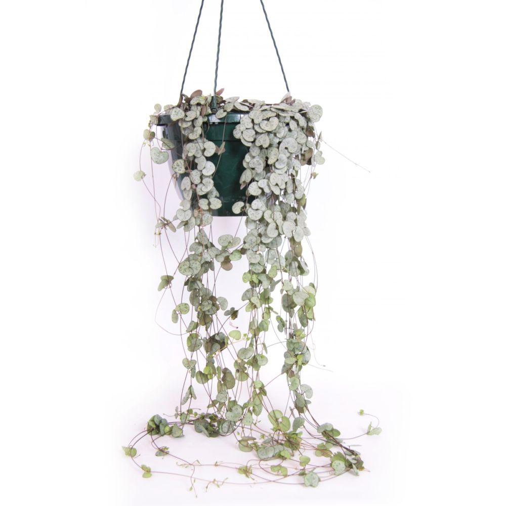 cha ne des c oeurs ceropegia woodii en suspension pot de 25cm hauteur 85cm gamm vert. Black Bedroom Furniture Sets. Home Design Ideas