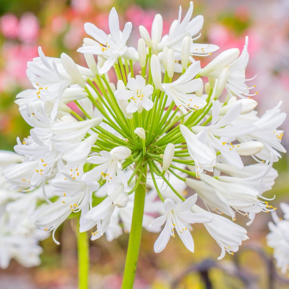 Agapanthe Blanche
