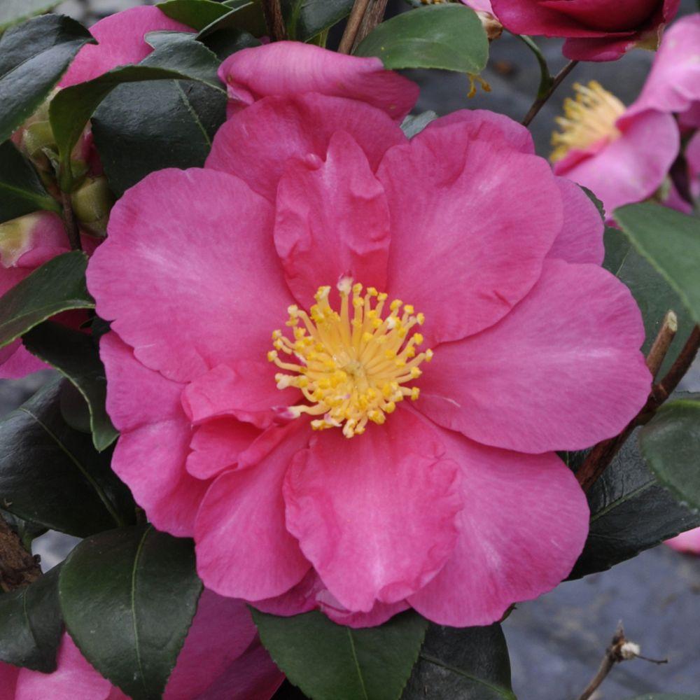 Camélia d'automne paradise ® Belinda