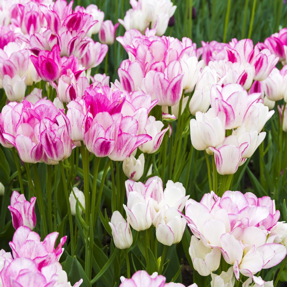 Tulipes pluriflores Candy club