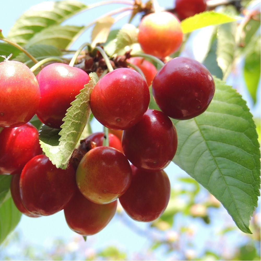 Cerisier Bigarreau 'Moreau' : taille en quenouille, pot de 10 L