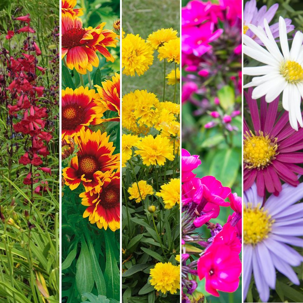 Kit de vivaces : Bouquet multicolore