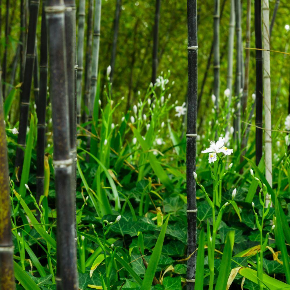 bambou noir phyllostachys nigra en pot de 5 litres gamm vert. Black Bedroom Furniture Sets. Home Design Ideas