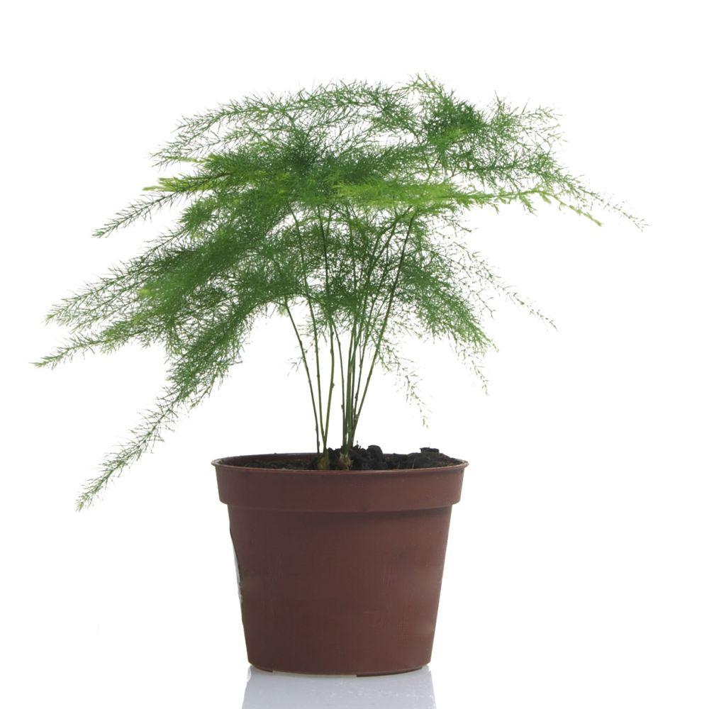 Asparagus plumosus pot de 10 cm gamm vert for Conseil sur les plantes