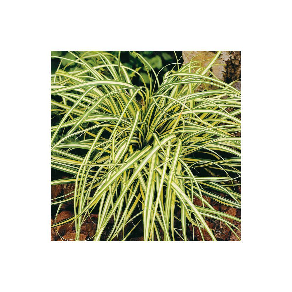 Carex hachijoensis Evergold ®