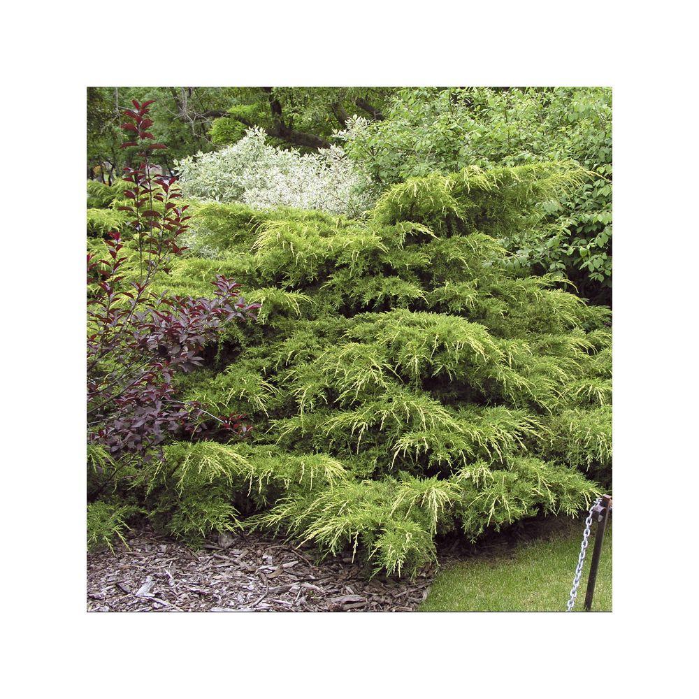 Genévrier 'Pfitzeriana Aurea' – Juniperus media