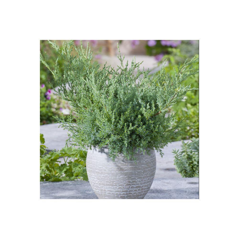 Genévrier 'Pfitzeriana Glauca' – Juniperus media