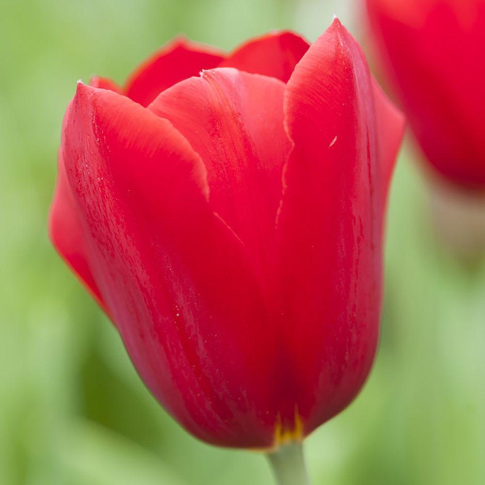 Tulipes simples tardives Kingsblood