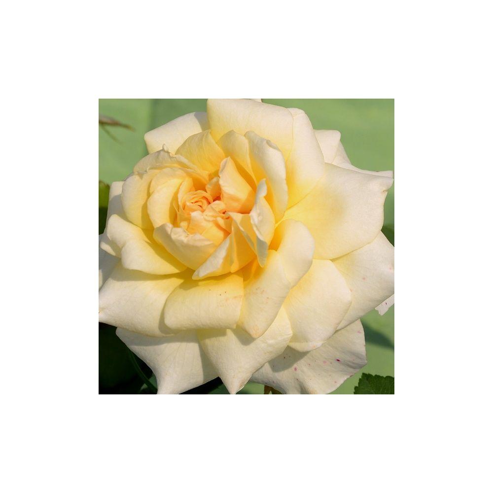 Rosier Generosa ® 'Claudia Cardinale ®' – Rosier Guillot