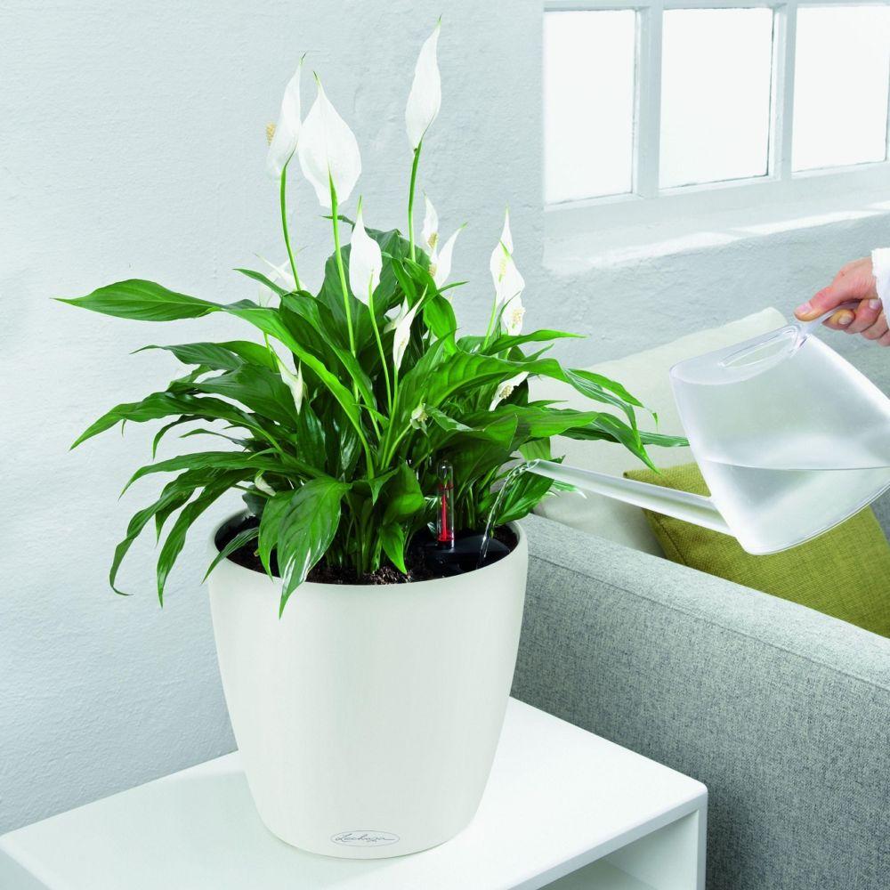 Spathiphyllum rempoté dans pot Classico Color 28 blanc