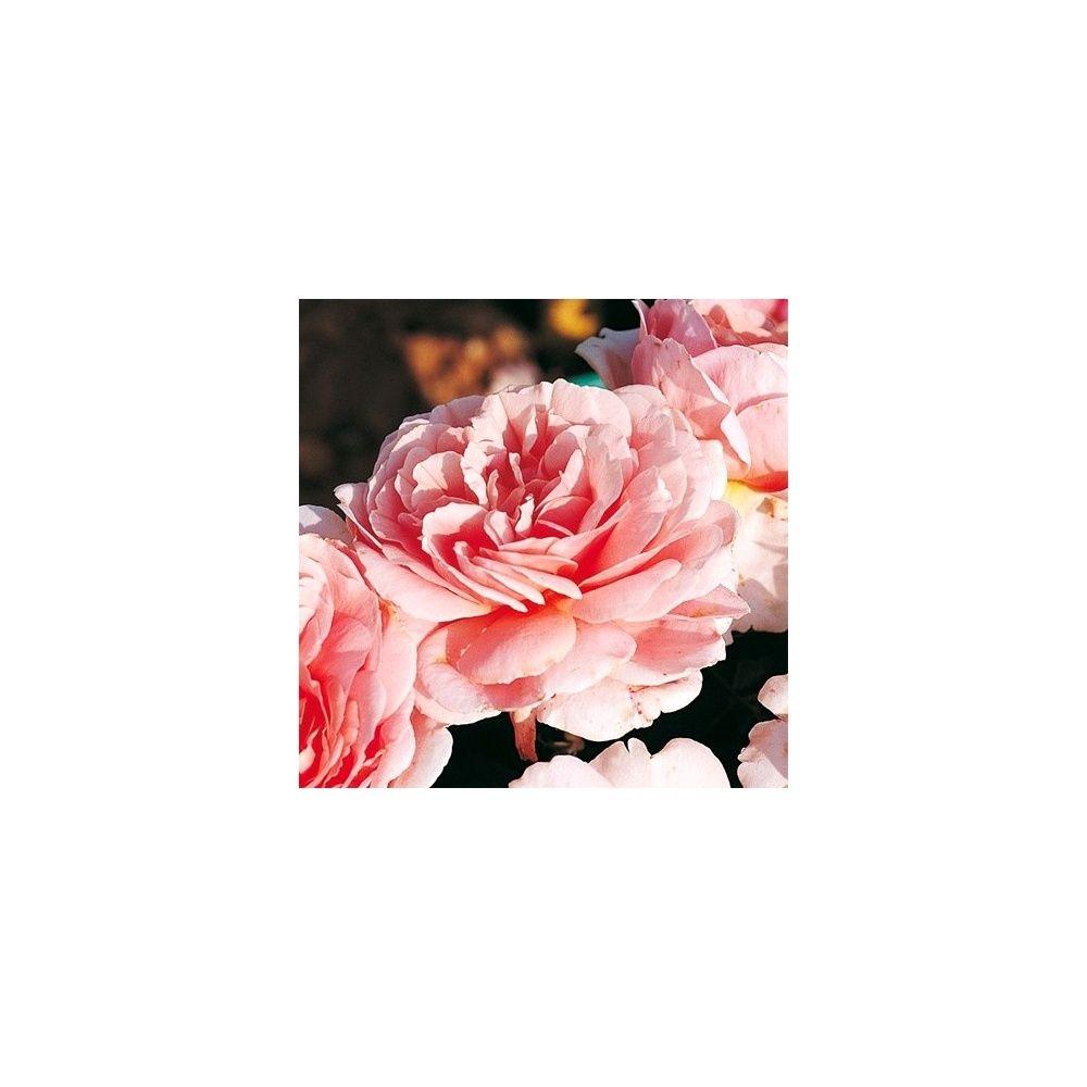 Rosier Generosa ® 'Francis Blaise ®' – Rosier Guillot