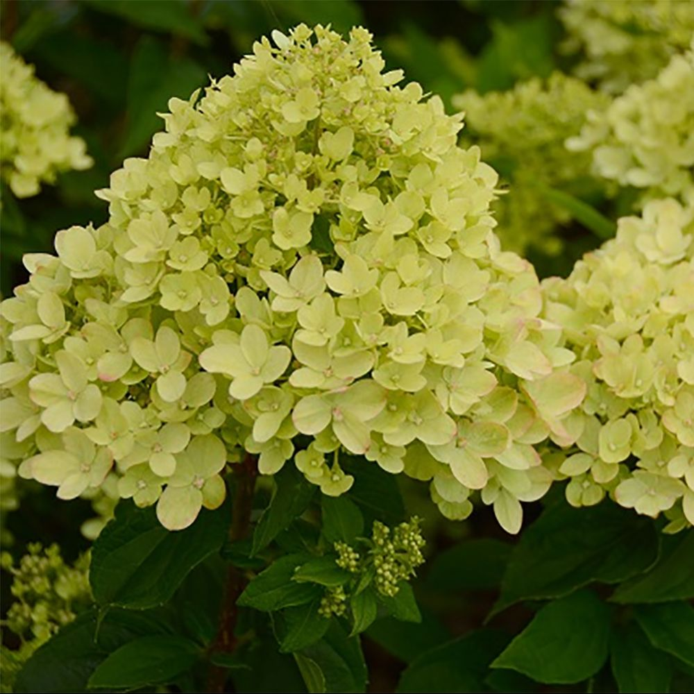 Hortensia paniculata 'Little Lime'
