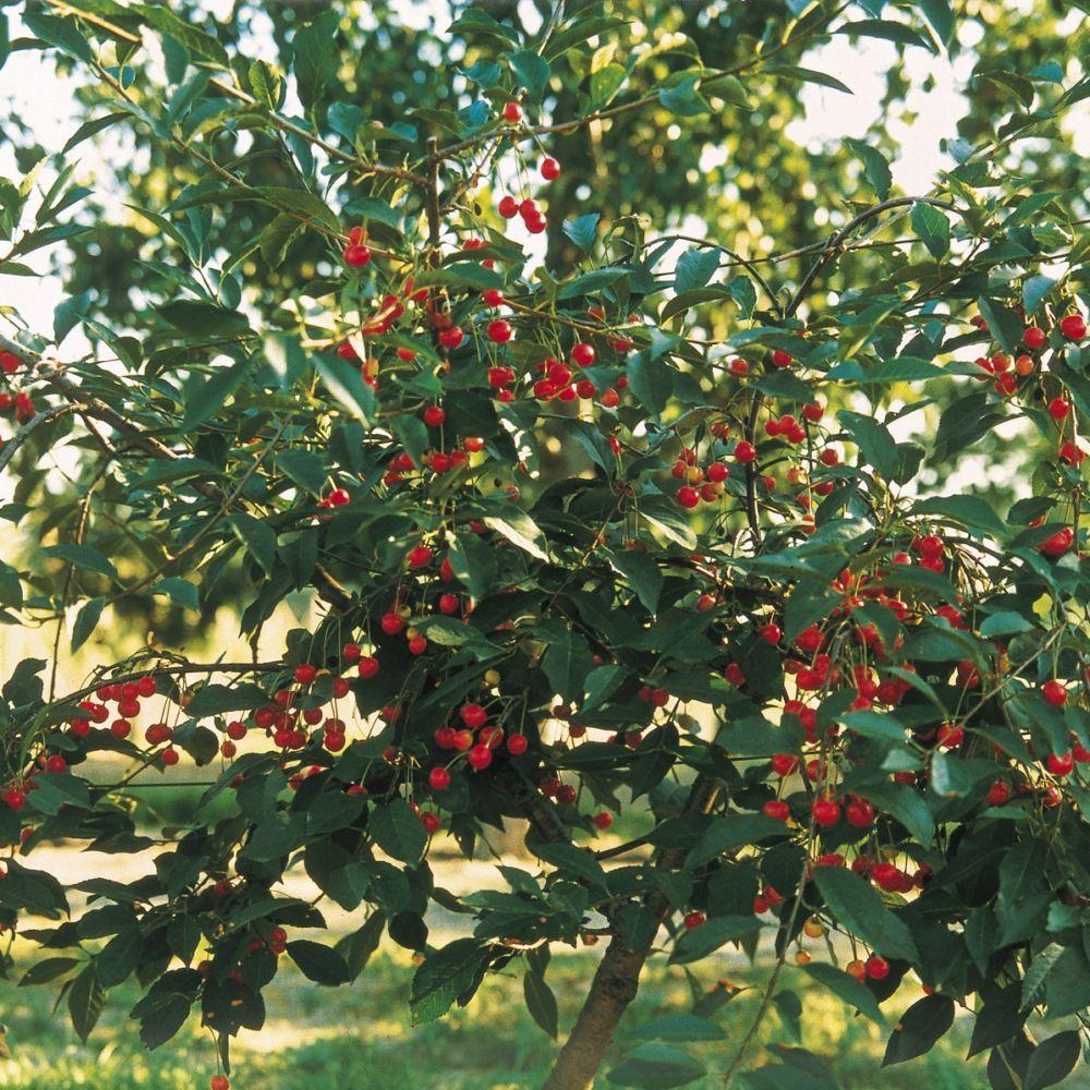 cerisier nain griotella frumi fruitier delbard racines nues mini tige gamm vert. Black Bedroom Furniture Sets. Home Design Ideas