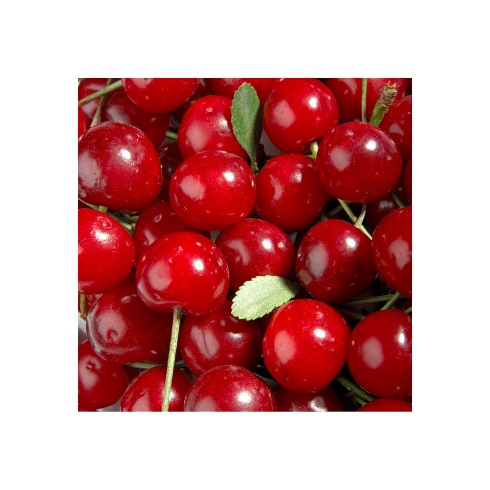 Cerisier nain autofertile GRIOTELLA ® – frumi – Fruitier Delbard