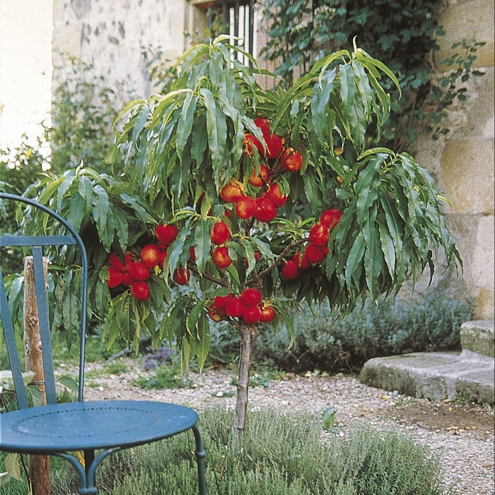 nectarinier nain nectarella zaidulab fruitier delbard racines nues mini tige gamm vert. Black Bedroom Furniture Sets. Home Design Ideas