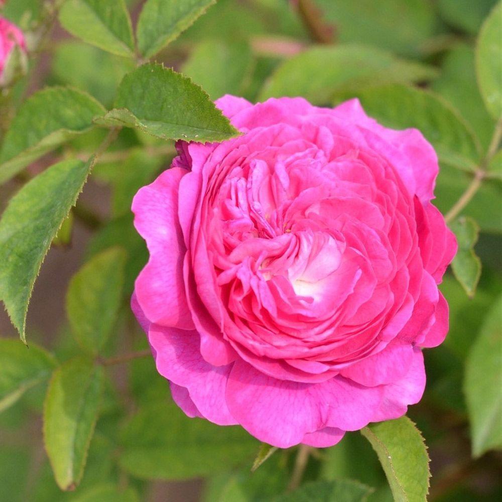 Rosier ancien 'Rose des Peintres'