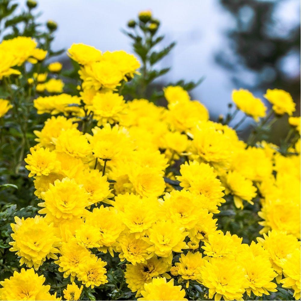 Chrysanthème 'Sunny Igloo'