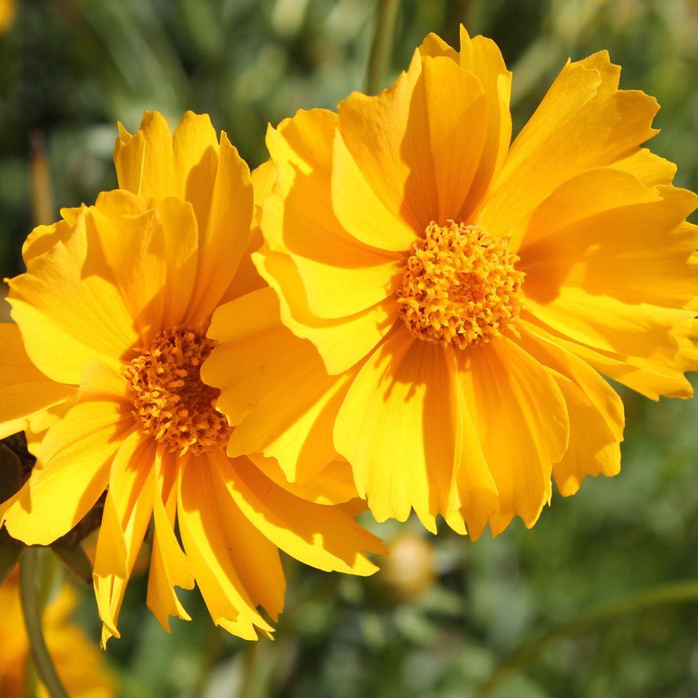 Coréopsis nain jaune