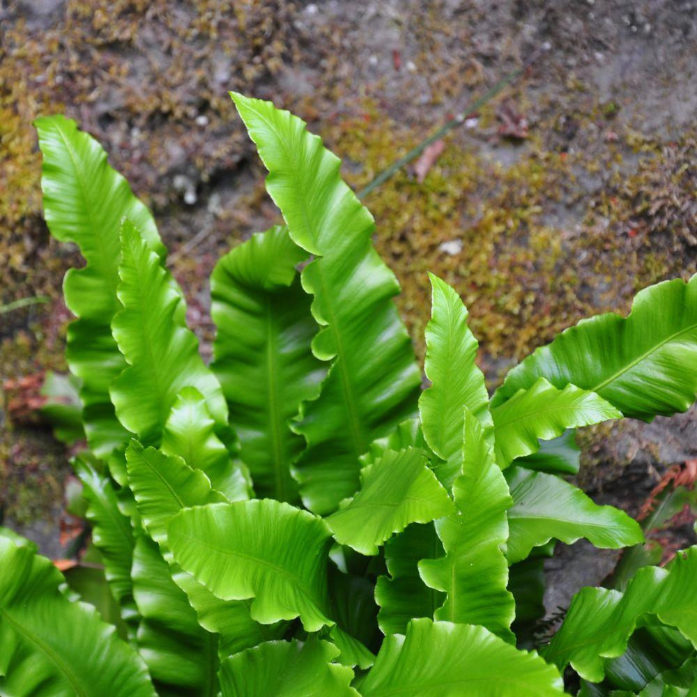 Fougère asplenium scolopendrium