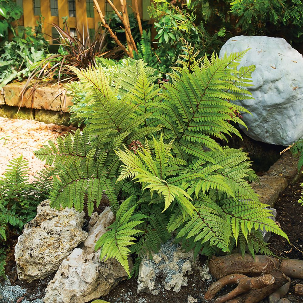 Fougère Athyrium otophorum 'Okanum'