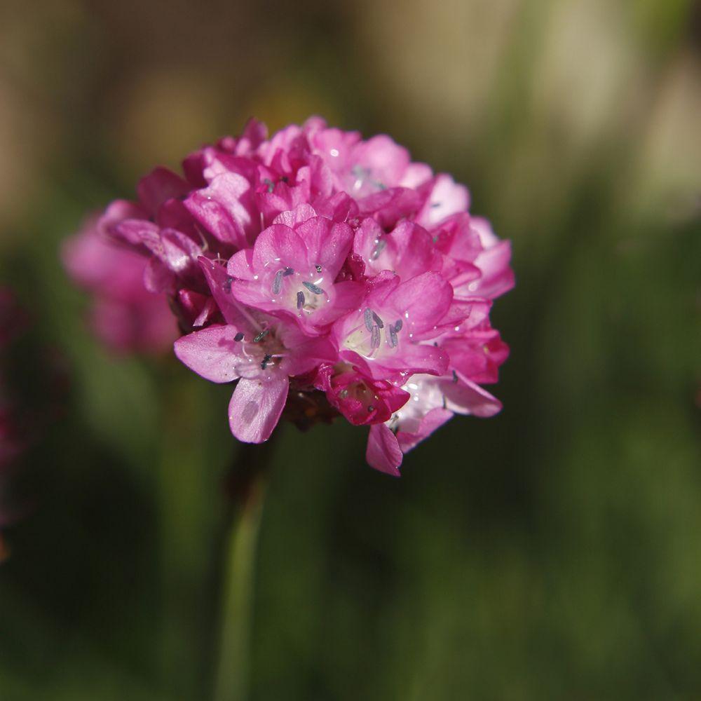 Gazon d'Espagne 'Morning Star Deep Rose'