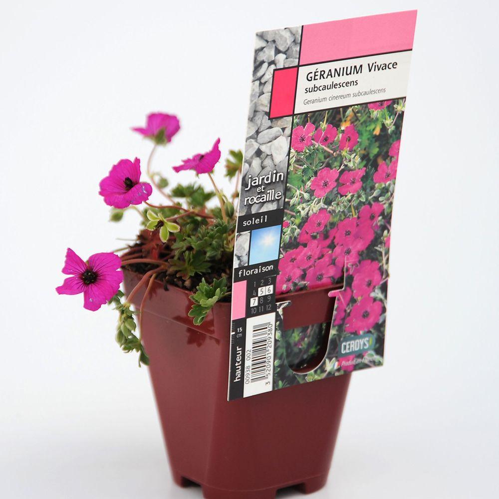 Géranium vivace subcaulescens