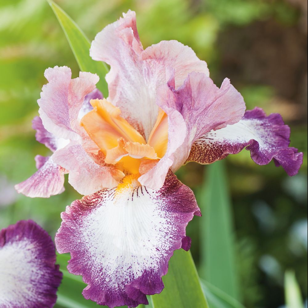 Iris germanica 'Change of Pace'