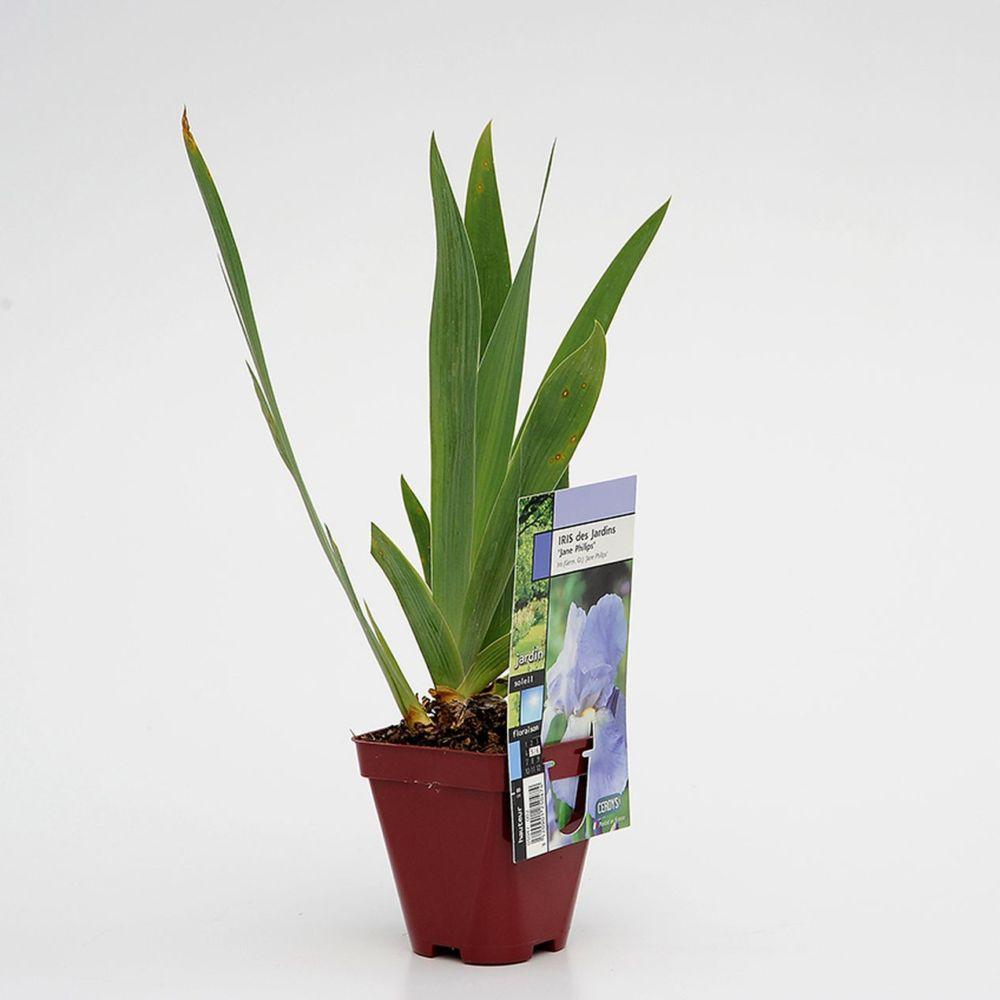 Iris germanica 'Jane Philips'