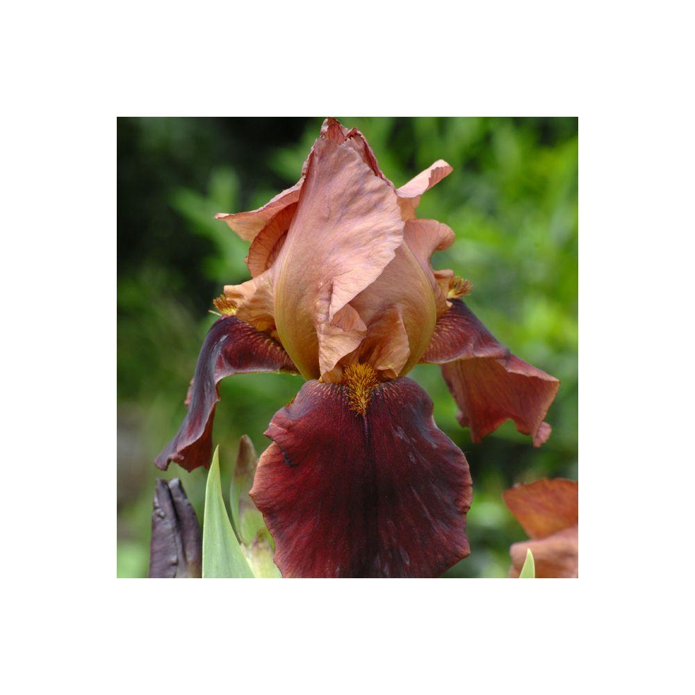Iris germanica 'Natchez Trace'