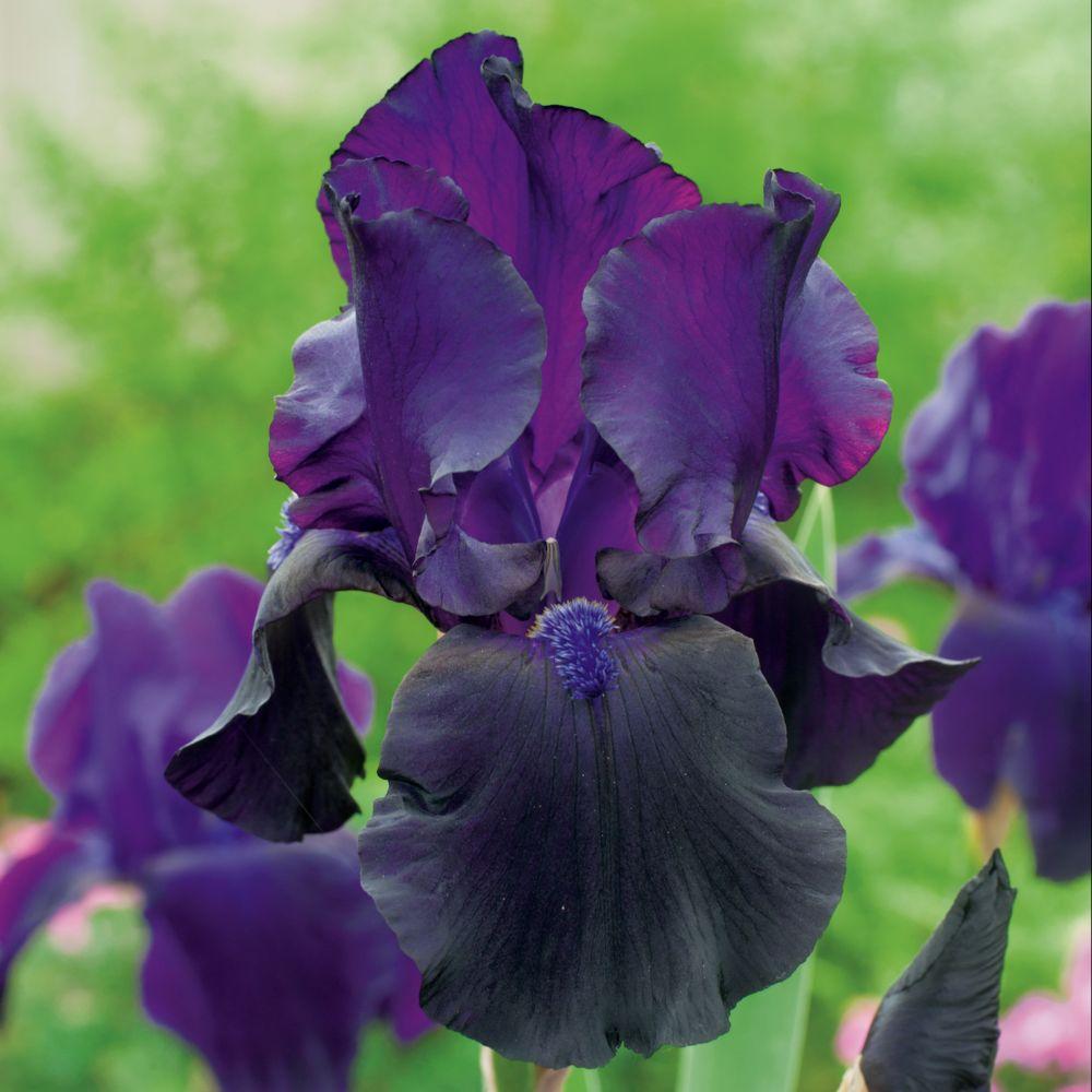 Iris germanica 39 tuxedo 39 lot de 3 godets de 8cm gamm vert for Calendrier entretien jardin