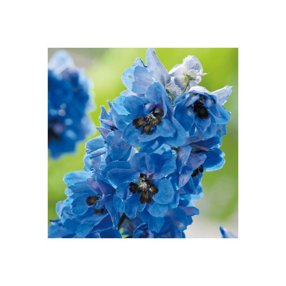 Pied d'alouette 'Blue Jay' – Delphinium