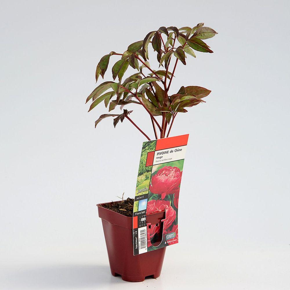 pivoine de chine rouge lot de 3 godets de 8cm gamm vert. Black Bedroom Furniture Sets. Home Design Ideas