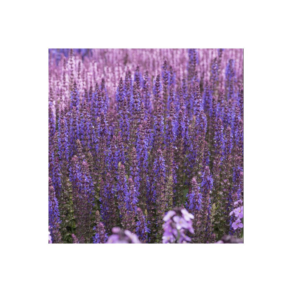 Sauge des bois SALVIA SENSATION ® 'Medium Deep Blue'