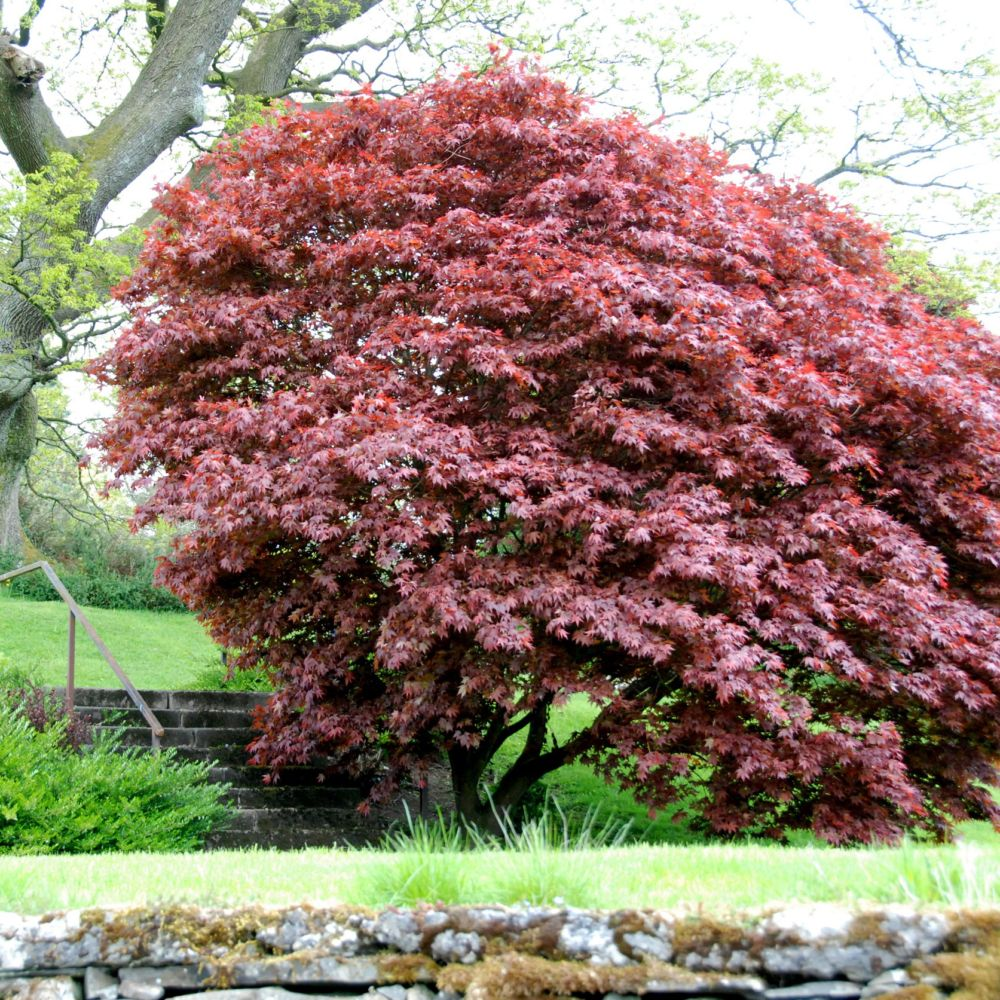 Erable du japon 39 bloodgood 39 pot de 4 5 litres hauteur 40 60cm gamm vert - Erable rouge du japon ...