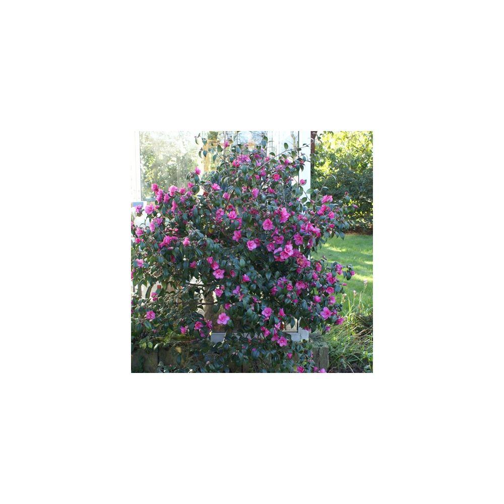 Camélia champêtre 'Gay Gaby'