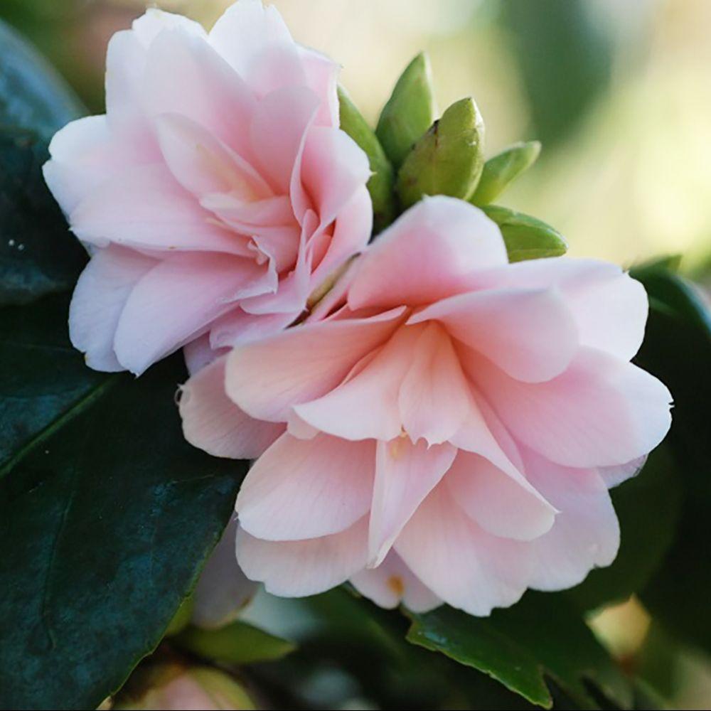 Camélia 'Fleur de Pêcher'
