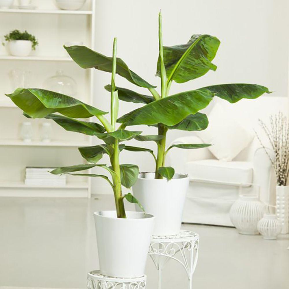 bananier tropicana en pot de 17 cm, hauteur 55 cm - gamm vert