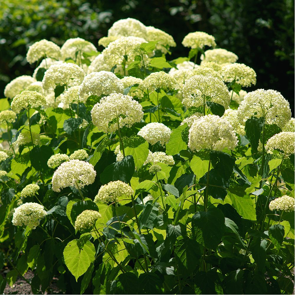 hortensia boule de neige 39 annabelle 39 pot de 3 4 litres 5 7 branches 2 ans d 39 ge gamm vert. Black Bedroom Furniture Sets. Home Design Ideas