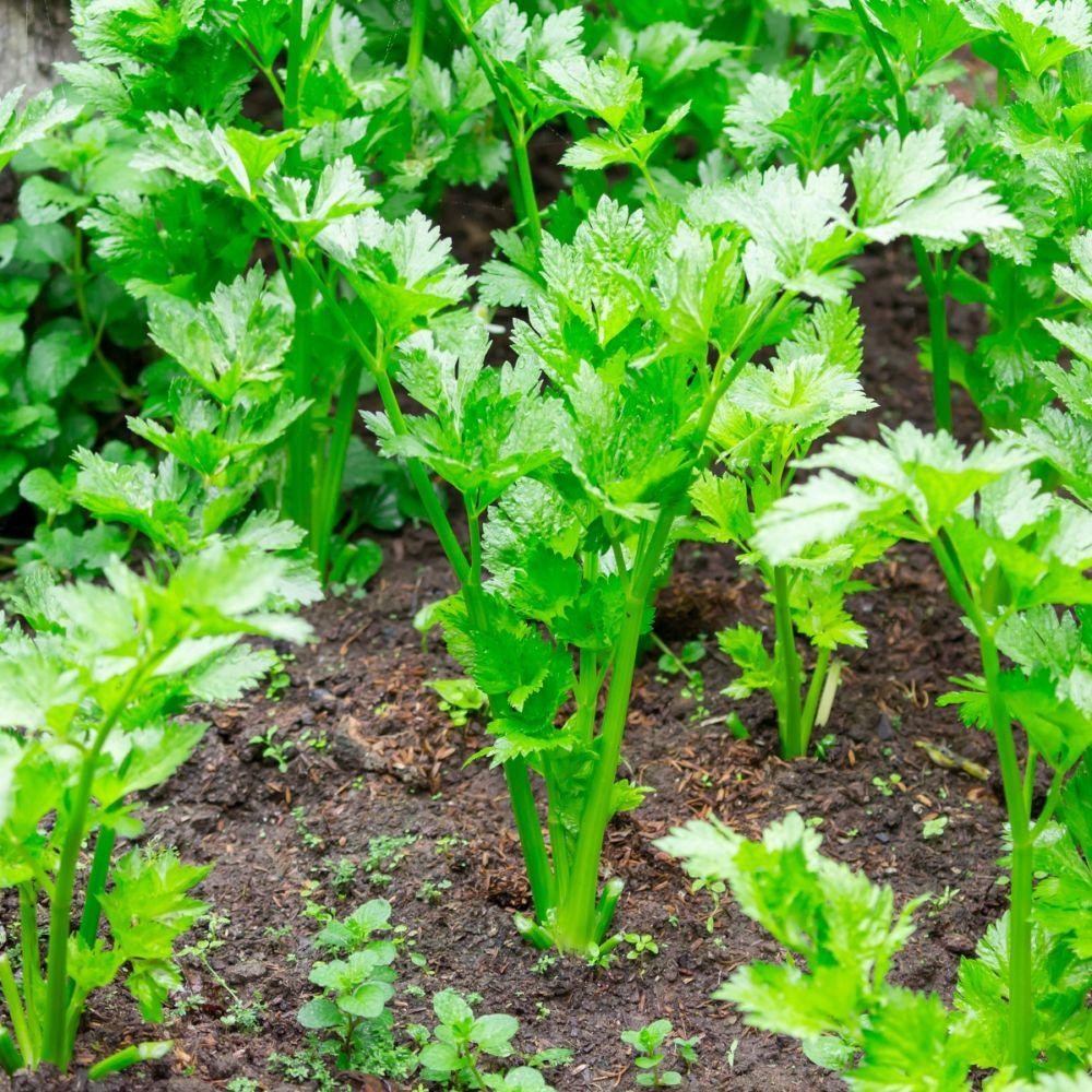 Celeri couper en pot de 0 75 litre gamm vert - Plante pour soigner les verrues ...