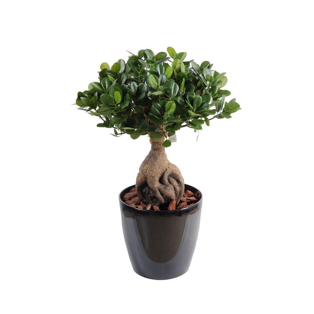 Ficus Panda Ginseng artificiel