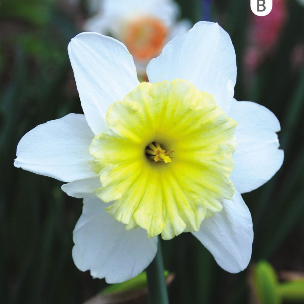 NARCISSE GRANDE COUPE ICE FOLLIES