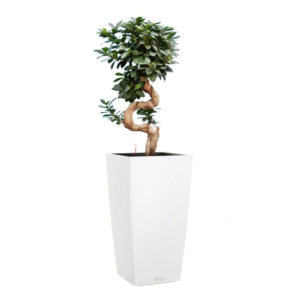 Ficus Ginseng rempoté dans pot Lechuza Cubico Color 30 blanc