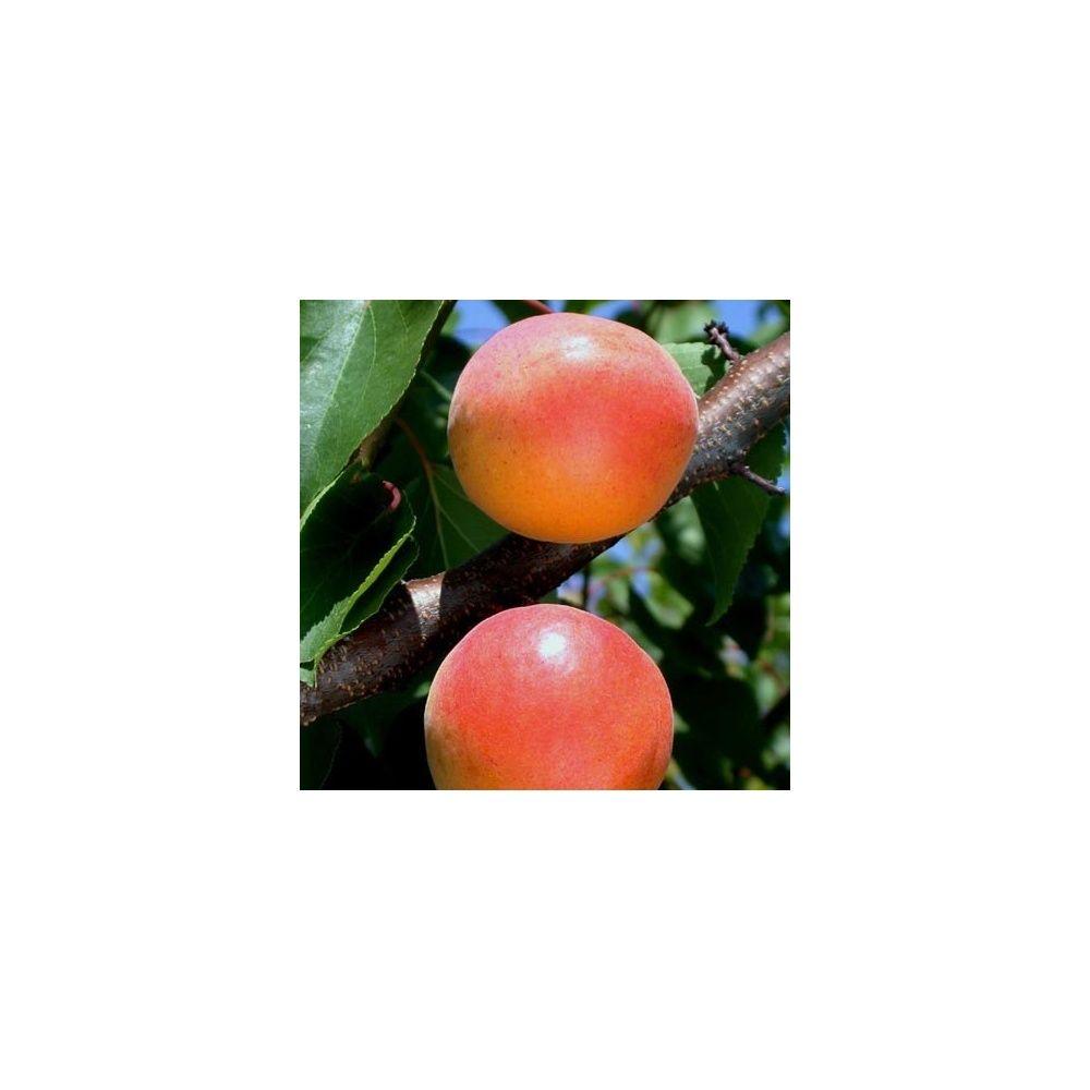 Abricotier 'Goldrich' : taille en quenouille, en pot