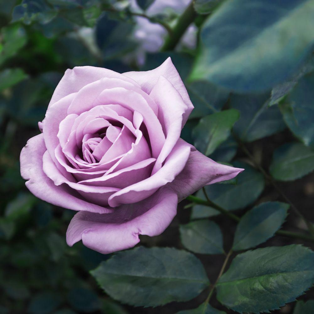 Rosier MAMY BLUE ® – delblue – Rosier Georges Delbard