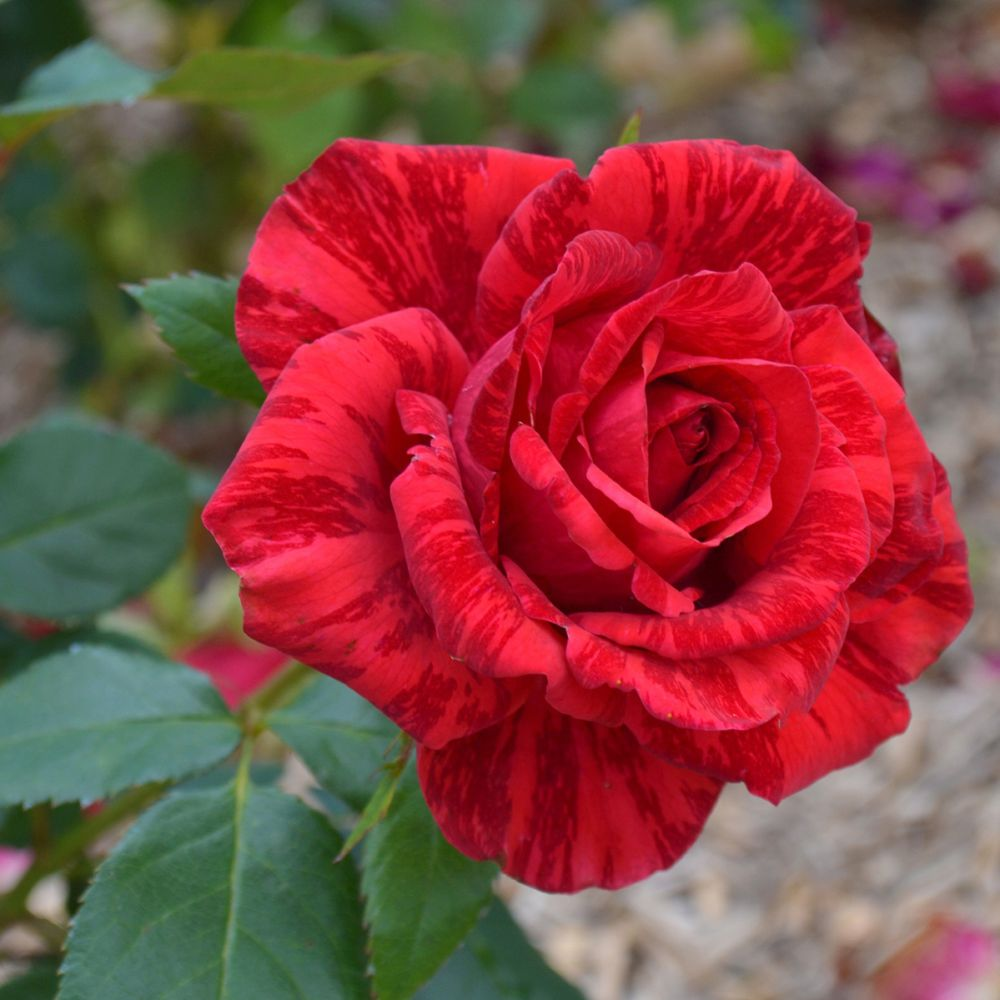 Rosier Red Intuition ® – delstriro – Rosier Georges Delbard