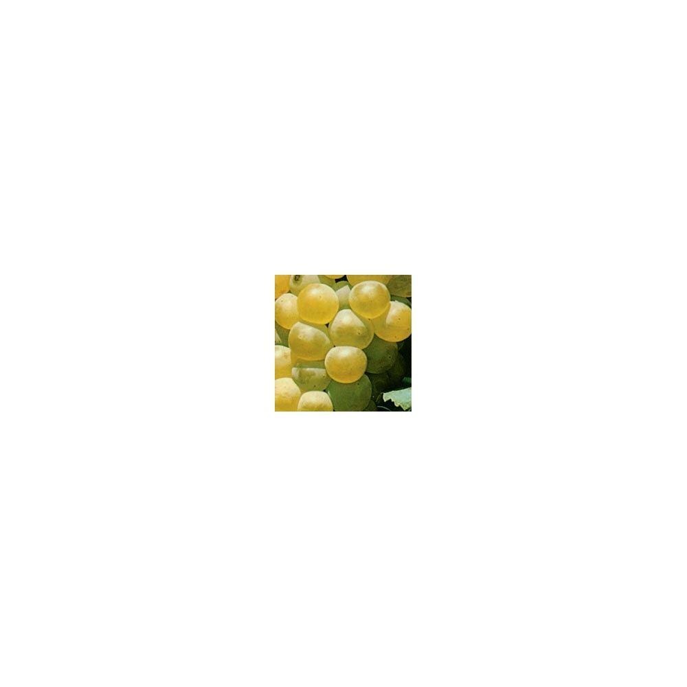 raisins chasselas doré