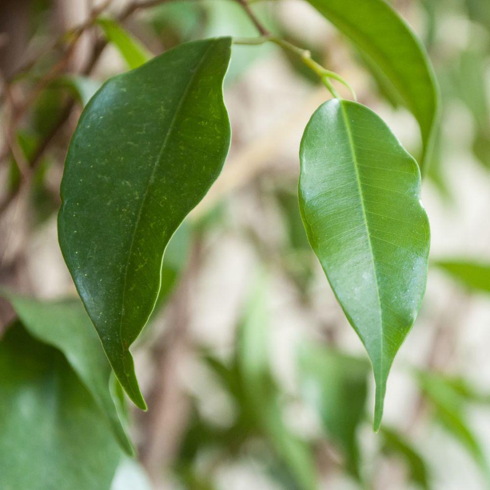 Ficus benjamina 100/110 cm