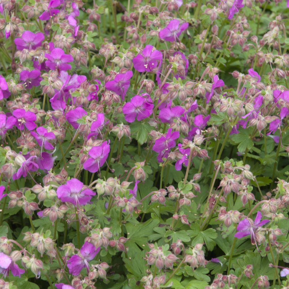 G ranium vivace cantabrigiense crystal rose lot de 3 for Les plantes vivaces