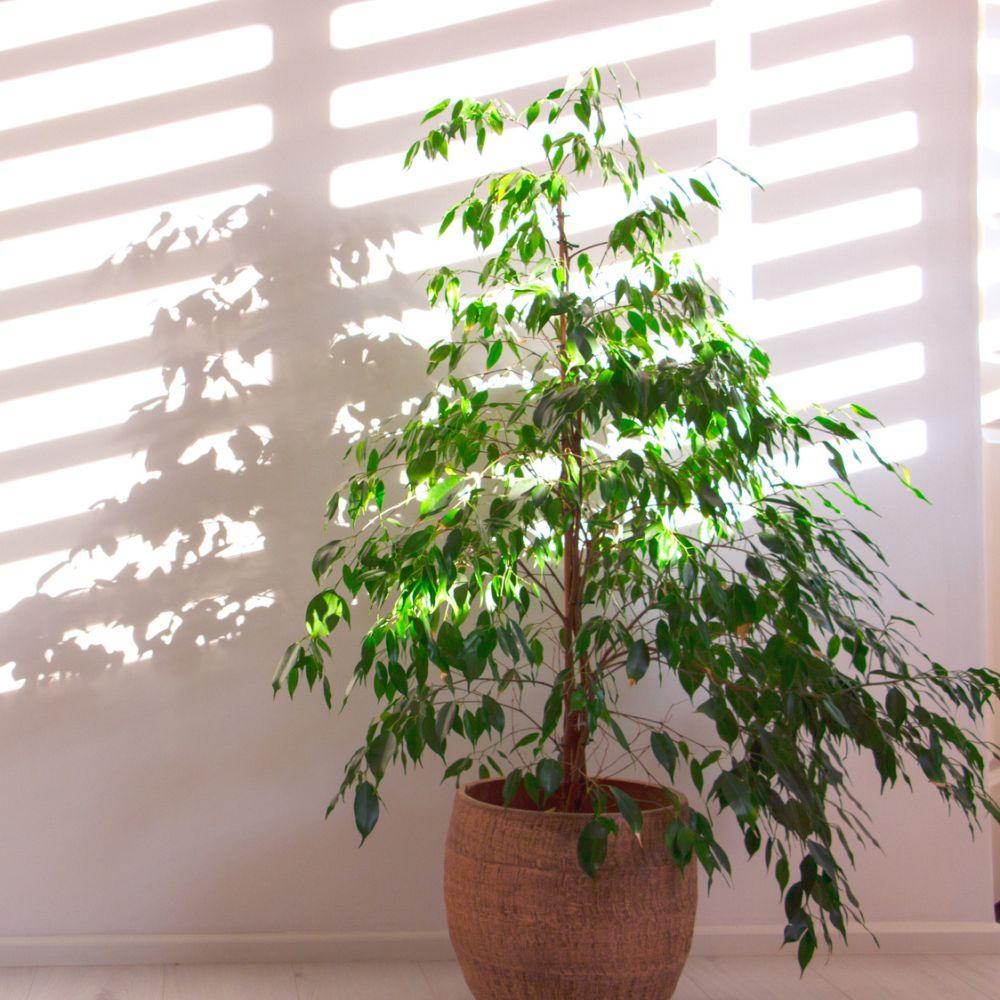 Ficus benjamina 140/150cm