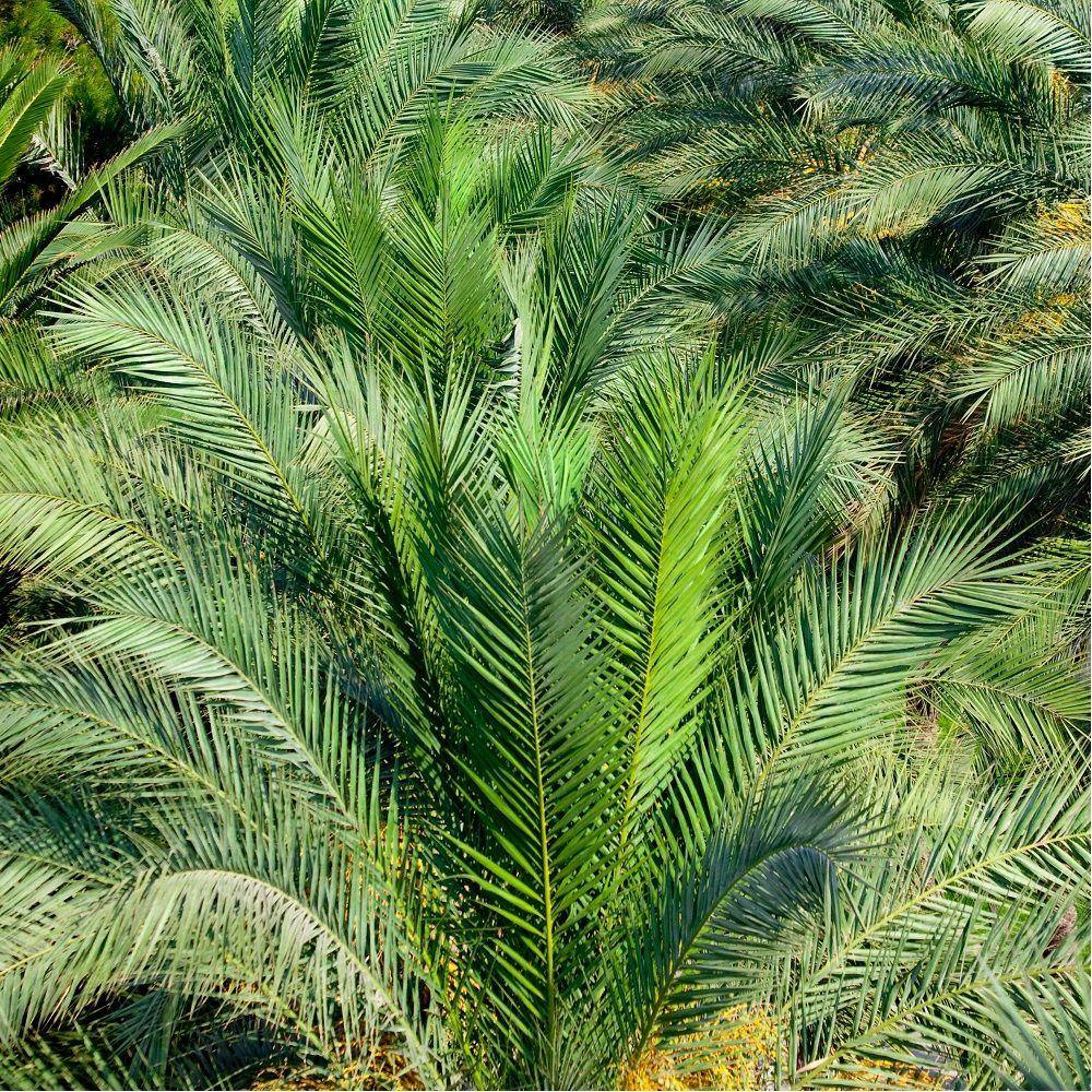 palmier phoenix canariensis en pot de 15cm hauteur avec pot 60cm gamm vert. Black Bedroom Furniture Sets. Home Design Ideas